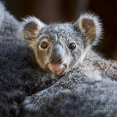 Koala Photograph - Up Close Koala Joey by Jamie Pham