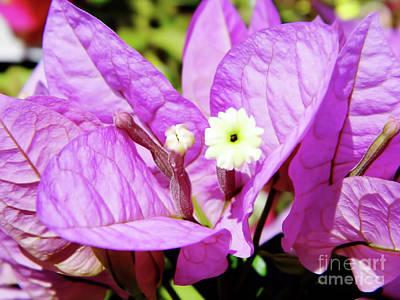Photograph - Up Close Purple Bougainvillea by D Hackett