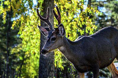 Photograph - Up Close With A Buck by Debra Martz
