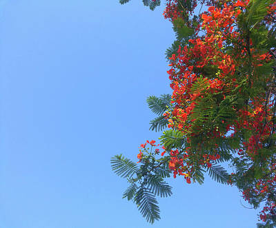 Photograph - Up- Gulmohar by Atullya N Srivastava