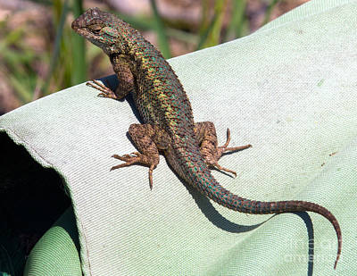 Lizard Photograph - Up On High by Shawn Jeffries