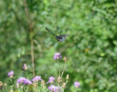 Photograph - Up, Up And Away-black Swallowtail Butterfly by David Porteus