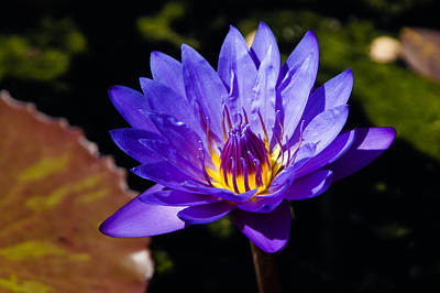 Photograph - Upbeat Violet Elegance - The Beauty Of Waterlilies  by Georgia Mizuleva