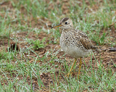 Photograph - Upland Sandpiper by Jim Zablotny