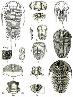 Photograph - Upper Cambrian Trilobites by Wellcome Images