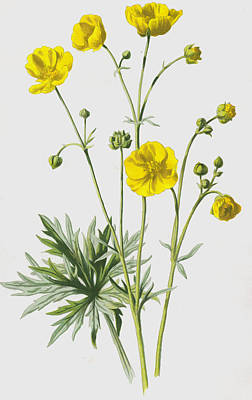 Botanical Drawing - Upright Meadow Crowfoot by Frederick Edward Hulme