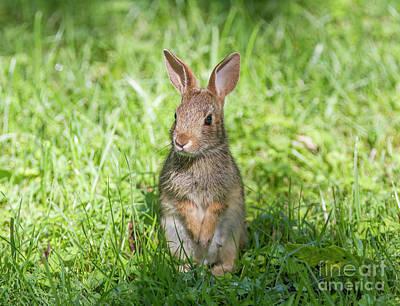 Photograph - Upright Rabbit by Chris Scroggins