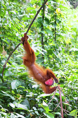 Red Monkey Photograph - Upside Down Bald Uakari Monkey by Jess Kraft