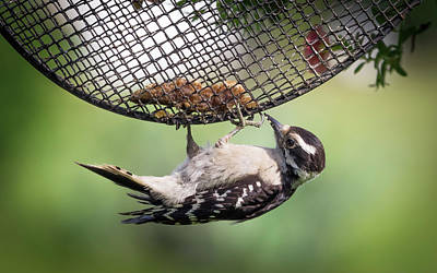 Photograph - Upside Down Downy Woodpecker by Van Sutherland