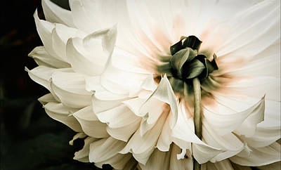 White Flower Photograph - Upskirt by Maggie Terlecki