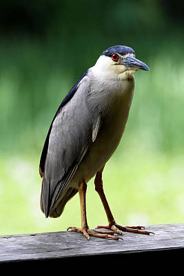 Photograph - Upstanding Heron by Debi Dalio