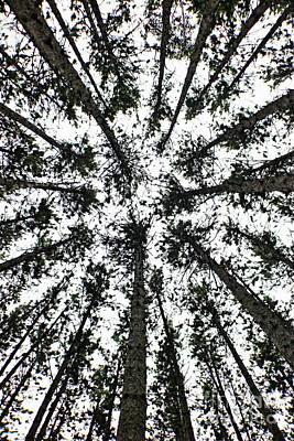 Photograph - Upward Through The Trees by Erick Schmidt