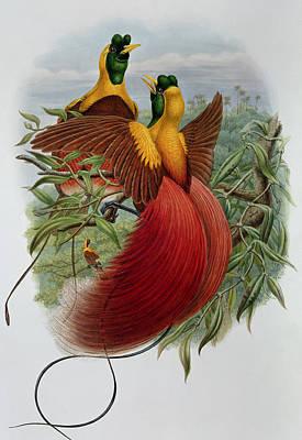 Bird Of Paradise Drawing - Uranornis Rubra by John Gould