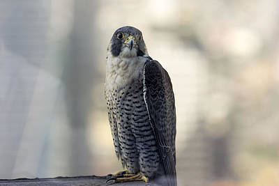 Photograph - Urban Peregrine Falcon by Josh Bryant