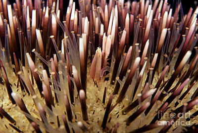 Tendrils Photograph - Urchin Creatures by Dave Fleetham - Printscapes