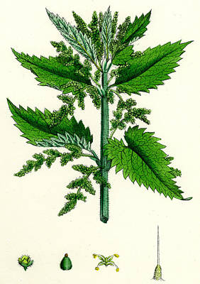 Sting Painting - Urtica Dioica Common Nettle by Unknown