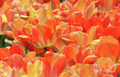 Photograph - United States Capital Tulips by E B Schmidt