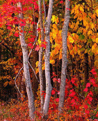 Autumn Scenes Photograph - Usa, Maine, Autumn Maple Trees by Panoramic Images