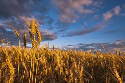 Usa, Oregon, Marion County, Wheat Field Print by Gary J Weathers