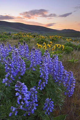 Usa, Washington, Dalles Mountain State Park, Landscape With Lupine Flower In Foreground Print by Gary Weathers