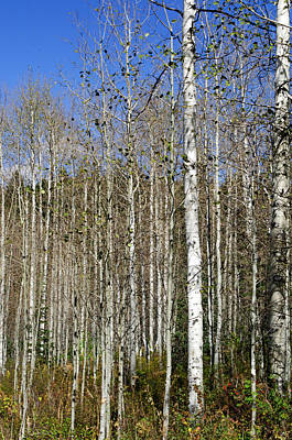 Photograph - Utah Aspens by Tikvah's Hope
