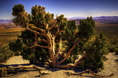 Photograph - Utah Juniper At High Point Red Rock Canyon by Roger Passman