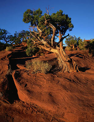 Photograph - Utah Juniper Sunrise by Paul Breitkreuz