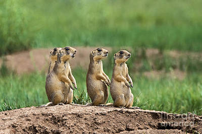 Photograph - Utah Prairie Dogs Cynomys Parvidens Wild Bryce Canyon  by Dave Welling