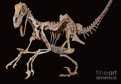 Photograph - Utahraptor by Millard Sharp