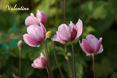 Photograph - V6-japanese Anemones by Barbara  White