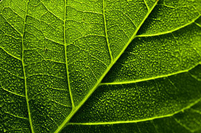 Photograph - Vain Leaf by Sarita Rampersad