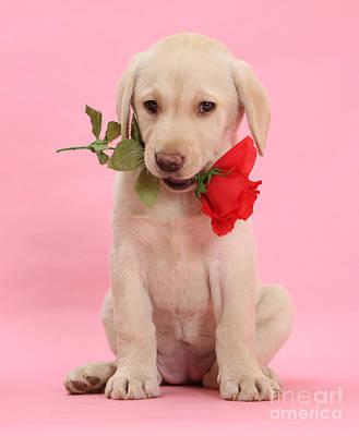 Photograph - Valentine Labrador Pup by Warren Photographic