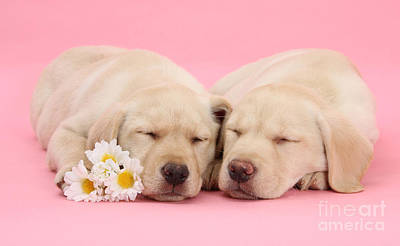 Photograph - Valentine Labrador Pups by Warren Photographic