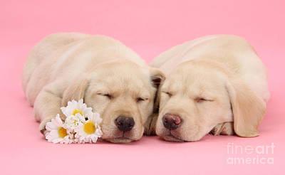 Photograph - Valentine Labrador Pups by Warren Photographic