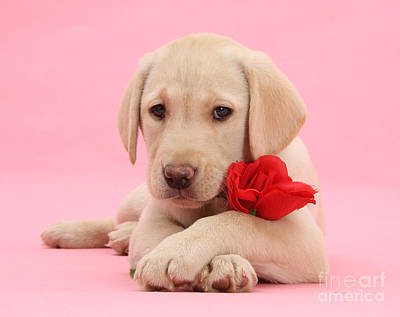 Photograph - Valentine Labrador by Warren Photographic