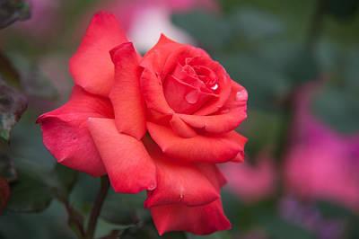 Photograph - Valentine Rose by Jenny Rainbow