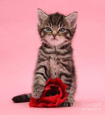 Photograph - Valentine Tabby Kitten by Warren Photographic