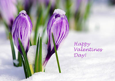 Valentines Day Crocuses Art Print by Sharon Talson