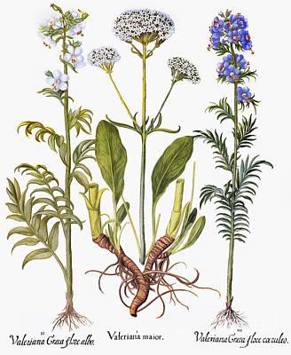 Photograph - Valerian Flowers, 1613 by Granger