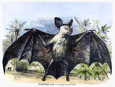 Photograph - Vampire Bat by Granger