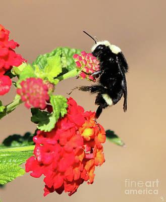 Van Dyke Bulmble Bee 11171 Art Print