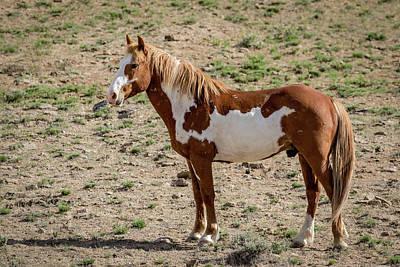 Photograph - Pinto Mustang Stallion by Dawn Key