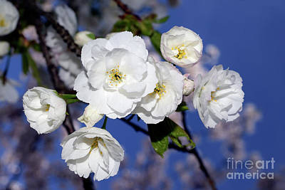 Photograph - Vancouver 2017 Spring Time Cherry Blossoms - 1 by Terry Elniski