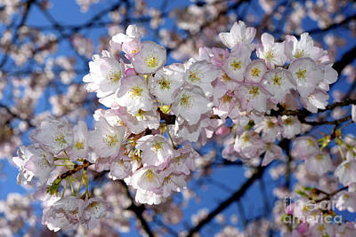 Photograph - Vancouver 2017 Spring Time Cherry Blossoms - 12 by Terry Elniski