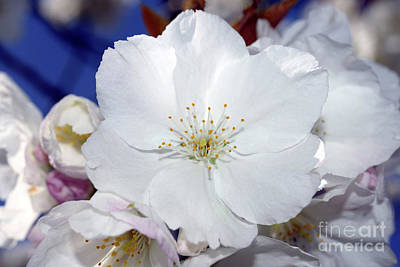 Photograph - Vancouver 2017 Spring Time Cherry Blossoms - 2 by Terry Elniski