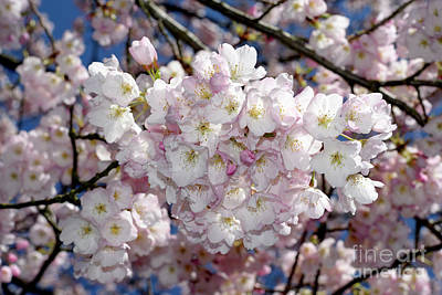 Photograph - Vancouver 2017 Spring Time Cherry Blossoms - 6 by Terry Elniski