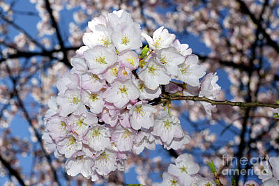 Photograph - Vancouver 2017 Spring Time Cherry Blossoms - 9 by Terry Elniski
