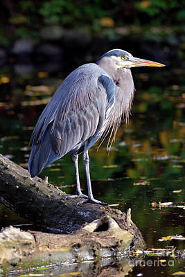 Photograph - Vancouver Great Blue Heron At Lost Lagoon by Terry Elniski