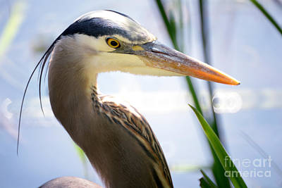 Photograph - Vancouver Great Blue Heron Portrait 1 by Terry Elniski