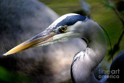 Photograph - Vancouver Great Blue Heron Portrait 2 by Terry Elniski